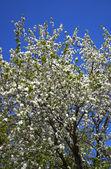 Wild apple tree coverd by flowers — Stock Photo