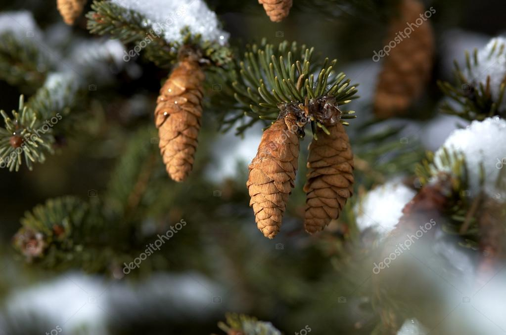 Fir tree — Stock Photo #15811171