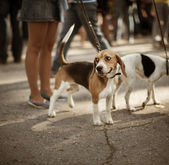Cute beagle on the street — Stock Photo
