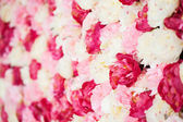Background full of white and pink peonies — Stock Photo