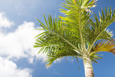 Palm tree over blue sky with white clouds — Stock Photo