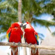 Couple of red parrots sitting on perch — Stock Photo #49714491