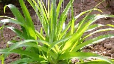 Lilia Flower Leaves — Stock Video