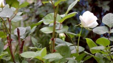 Rose Flower — Stock Video