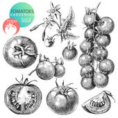 Tomatoes — Vector de stock