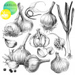 Garlic - Stock Vector