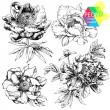 Peonies - Stock Vector
