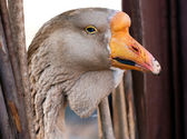 Macro portrait of young grey goose — Stock Photo