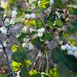 Snow berries — Stock Photo