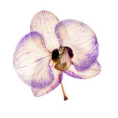 Orchid drying — Stock Photo