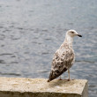 Large seagull — Stock Photo