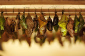 Pupae in the incubator — Stock Photo