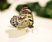 Rice paper butterfly. Idea leuconoe — Stock Photo
