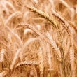 Golden wheat field in summer — Stock Photo