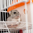 Djungarihamster in cage — Stock Photo #32518495