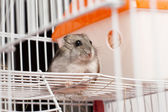 Djungarian hamster in a cage — Stock Photo