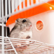 Djungarihamster in cage — Stock Photo #32522451