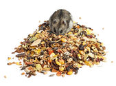 Djungarian Hamster eating — Stock Photo
