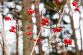 Viburnum berries in winter. winter day. — Stock fotografie