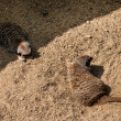 Meerkat sitting playfully on desert sand — Stock Photo