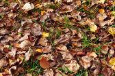 Autumn leaf on green grass — Stock Photo