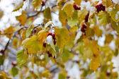 Hojas amarillas encajonado en la capa de hielo — Foto de Stock