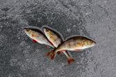 Winter fishing. perch fish on ice — Stock Photo