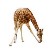 Large giraffe isolated on a white background — Stock Photo