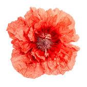Red poppy flower isolated on white — Stock Photo