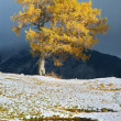 Larch in autumn — Foto de Stock