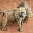 Stock Photo: Baboons