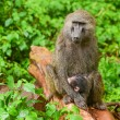Baboon — Stock Photo