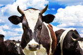 Curious cows — Stock Photo
