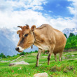 Cows in mountains — Stock Photo #24047323