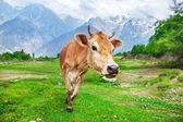 Nyfiken röd ko — Stockfoto