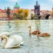 Stock Photo: Swans in Prague