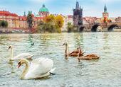 Swans in Prague — Stock Photo