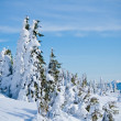 Fir trees covered with snow  — Photo