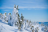 Fir trees covered with snow — Stock Photo