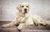 Great photo of white friendly dog — Stock Photo