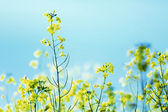 Photo presenting field of canola — Stock Photo
