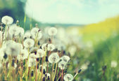 Photo presenting field of dandelions — Stock Photo