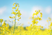 Picture of canola flower and yellow field — Stock Photo