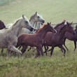 Stock Photo: Picture of bevy wild horses on meadow