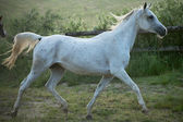 Fine shoot of spotted white steed — Stock Photo