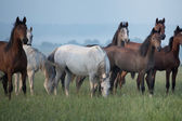 Bevy of horses on the meadow — Stock Photo
