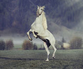 Majestic horse jumping on the green meadow — Stock Photo