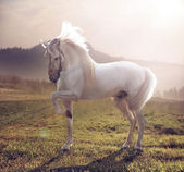 Picture of majestic white horse — Stock Photo