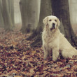 Stock Photo: Golden retriever in colorful forest