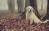 Golden retriever in colorful forest — Stock fotografie